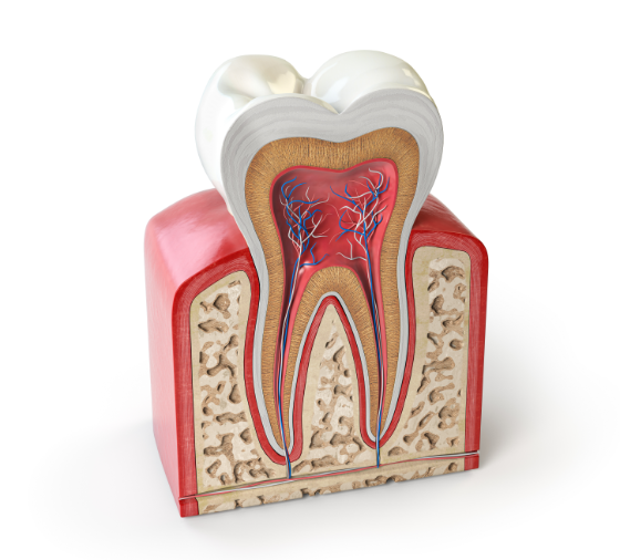 dental-tooth-anatomy-cross-section-of-human-tooth-524MHAR@2x